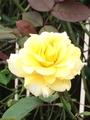 薔薇の病気