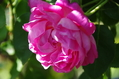 今日のバラ ② 0928