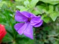 切戻しペチュニアの開花