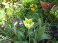 ライラックの花。