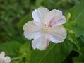 オシロイバナの三色花白に黄色筋柄と紅色の筋柄開花しました