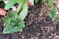 地植え原シクの葉っぱも