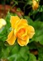 😫嵐の前の🌹薔薇たち🌹