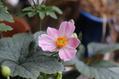 シュウメイギク ピンクが咲きました