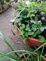 ゼフィランサス(黄花)の種❗