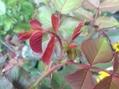 今日のバラの蕾発見 1