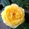 台風から避難してたバラ達①