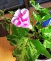 朝顔🏵️蕾から開花まで