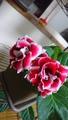 グロキシニア 今日のあなた『ピンク』 『赤&白グロキシニア』