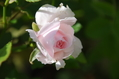 今日のバラ ⑤ 1003
