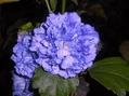 今朝の庭より・・・アオイ科の花