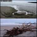 浜で流木拾い。ウォーキングMS⑥239日目(2064日)
