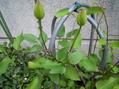 庭のクレマチス