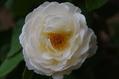 今日のバラ ⑤ 1004