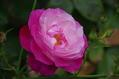 今日のバラ ① 1005