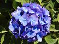 ④台風が来る前に・・青い花(アジサイ・リンドウ・スカビオサ)