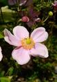😉秋明菊🎵3色咲き競う🎵
