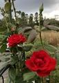 夫の(笑)薔薇