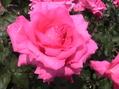 春の薔薇と秋の薔薇どちらがお好き!!②