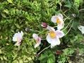 ホトトギスが咲きました
