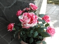 ミニバラ&ブルーの花~♪