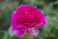 今日のバラ ③ 1009