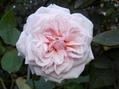 今朝のバラ③