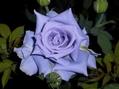 今朝のバラ④