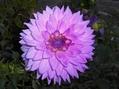 今朝の庭より・・・ピンクの花