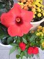 ハイビスカス🌺の開花。