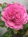 もう一つの青薔薇マダムヴィオレ