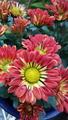 ふくおかルーバルガーデン2~秋の庭🍂便り❗肌寒さを感じる朝、庭の赤い🌼