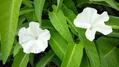 空芯菜の花とハイビスカス
