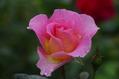 今日のバラ ① 1011