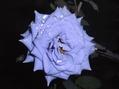 雨に濡れたバラ④
