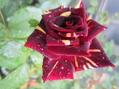 春の薔薇と秋の薔薇どちらがお好き!!⑤
