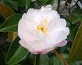 山茶花と秋薔薇