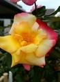 🌹七色の花が咲く薔薇🌹なのだァ~!後編