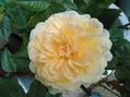春の薔薇と秋の薔薇どちらがお好き!!⑥