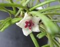 レツーサの開花
