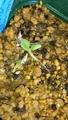 アッペンディクラツム 播種その後