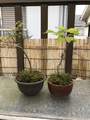 植え替えとちょっと盆栽。