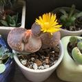 リトープス開花