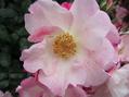 春の薔薇と秋の薔薇どちらがお好き!!⑧