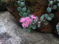 ミセバヤが咲いています