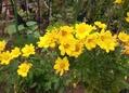 薔薇(若紫、グレーフィンディアナ)と菊