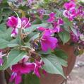 まだまだ元気な夏の花2