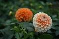 秋はダリアの花色が冴える 2
