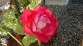 今日の我が家のバラ