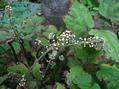 このサラシナショウマ、咲くのでしょうか